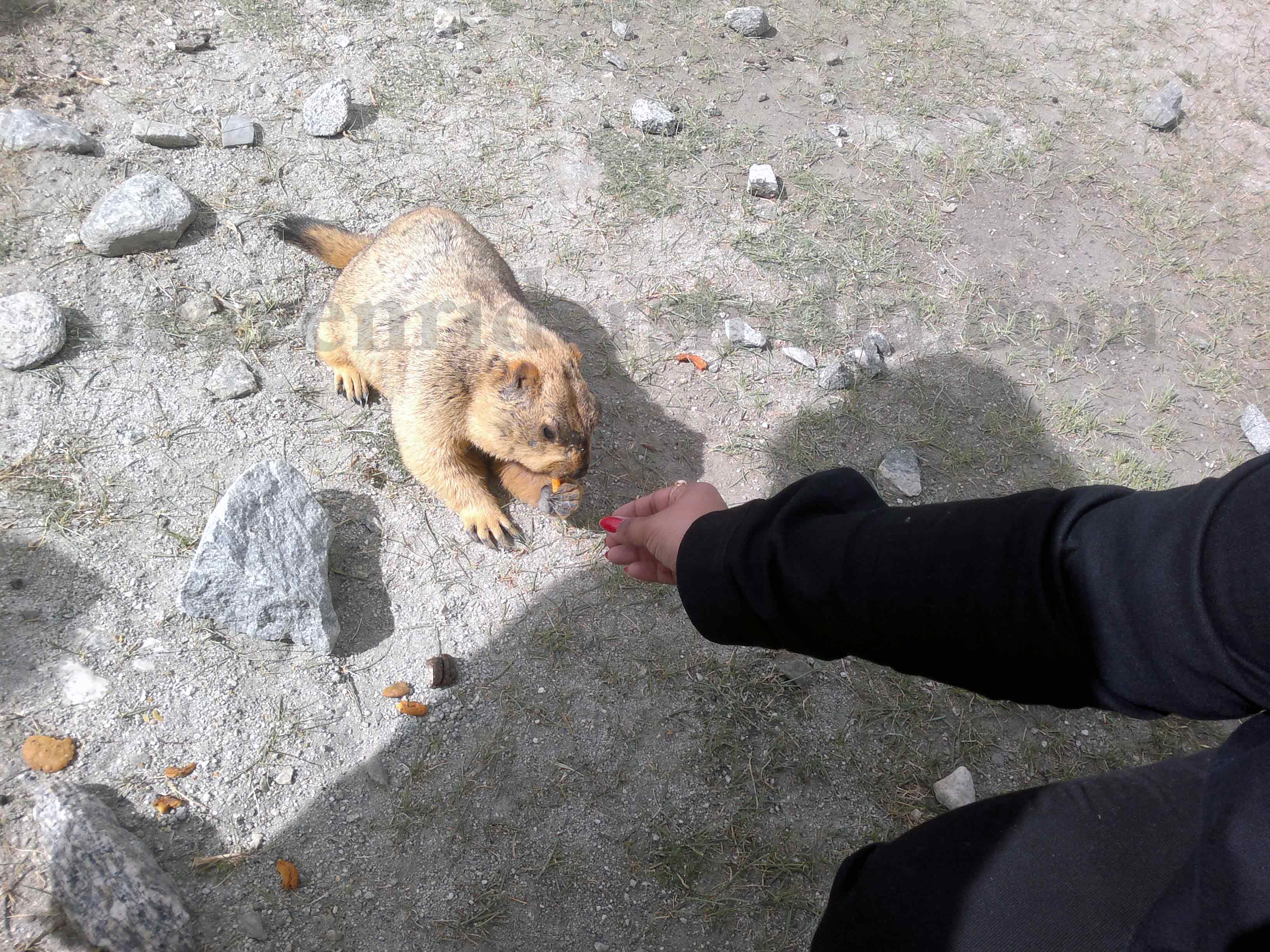 Himalayan Marmot found on road trip to Leh-Ladakh with Heaven Riders India